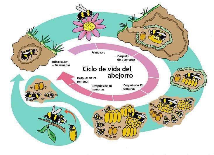 ciclo de vida de la abeja - Buscar con Google
