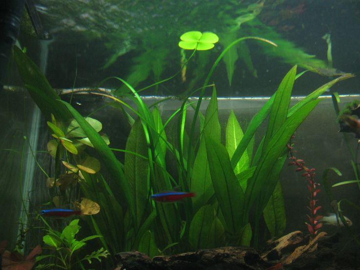 Floater of marsilea quadrifolia (aka giant mars ilea) in my non-CO2 aquarium.