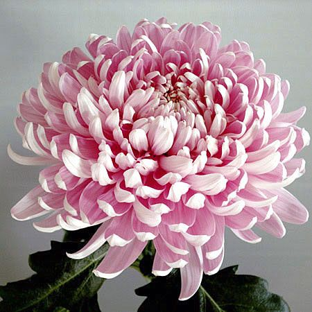 Large headed chrysanthemums - I think they are beautiful...