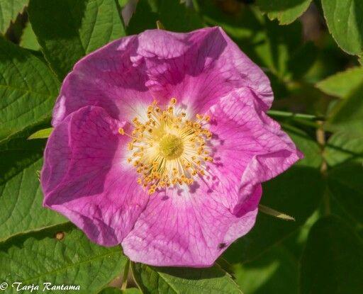 Karjalanruusu, Rosa acicularis.