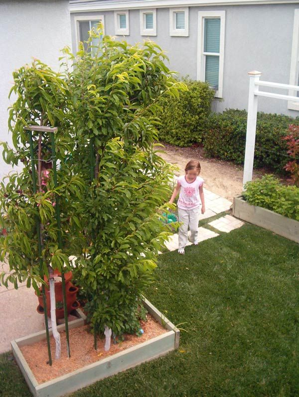 More than one fruit tree in a raised bed. It's called the ...