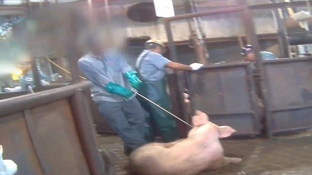 Shocking footage released by Compassion Over Killing shows how pigs are badly treated at a slaughterhouse in Minnesota