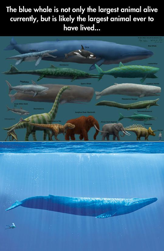 The blue whale is not only...