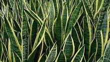 Snake Plant / Sansevieria trifasciata