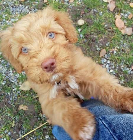 Midas the Australian Labradoodle... I want him snuggling with me RIGHT NOW!!! how perfect is he!!!