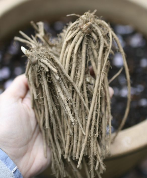 How To: Plant Asparagus Root Crowns in Containers   17 Apart: How To: Plant Asparagus Root Crowns in Containers