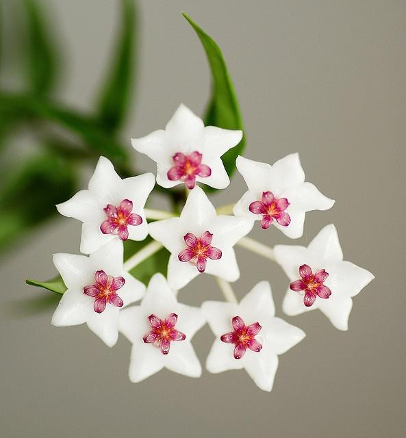 Hoya Bella Bella Fleur by Wizard of Wonders™, via Flickr... Meravigliosi fiori di Cera...