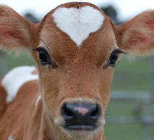 This may be the cutest cow ever.