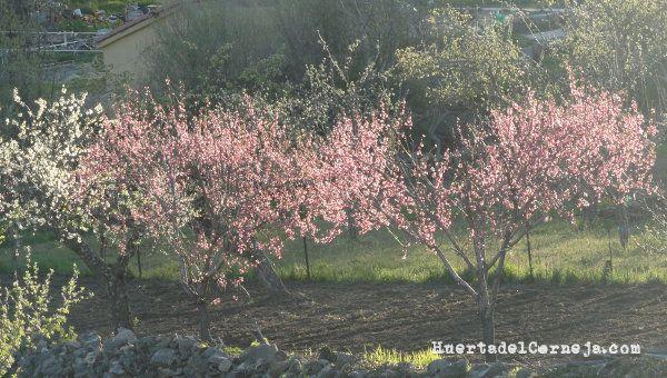 Floración de frutales de hueso en la huerta