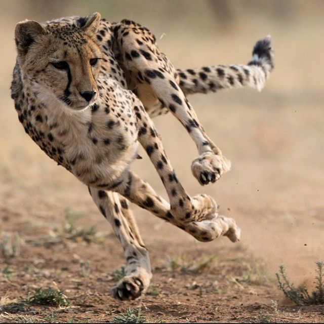 phototoartguy:  The Cheetah Conservation Fund in Namibia is home to a large population of cheetahs. Some of these cats were brought in as orphans at a very young age (sometimes only a few days old) and will never be released back in the wild. They run a few times a week on a dirt track following a piece of cloth that is pulled by a cable system at a very high speed. This provides great training for the cats and an excellent opportunity for photography. I wanted to freeze the action as this…