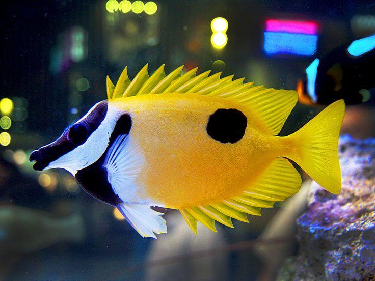 Best 25 salt water fish ideas on pinterest mandarin for Yellow fish tank water