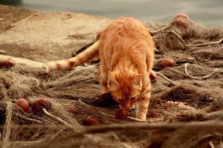 Gatto procidano -  Benedetta Di Magno
