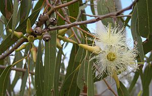 Gums (eucalyptus): Eucalyptus /ˌjuːkəˈlɪptəs/ L'Heritier 1789 is a diverse genus of flowering trees and shrubs (including a distinct group with a multiple-stem mallee growth habit) in the myrtle family, Myrtaceae. Members of the genus dominate the tree flora of Australia. There are more than 700 species of eucalyptus and most are native to Australia, and a very small number are found in adjacent areas of New Guinea and Indonesia. One species, Eucalyptus deglupta, ranges as far north as the…