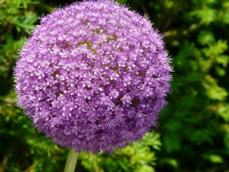 A díszhagymák különlegesen hosszan virágzanak és formájukkal, színeikkel magukra vonják a tekintetet. Bemutatunk néhány érdekességet és tanácsot adunk az ültetéshez, neveléshez.