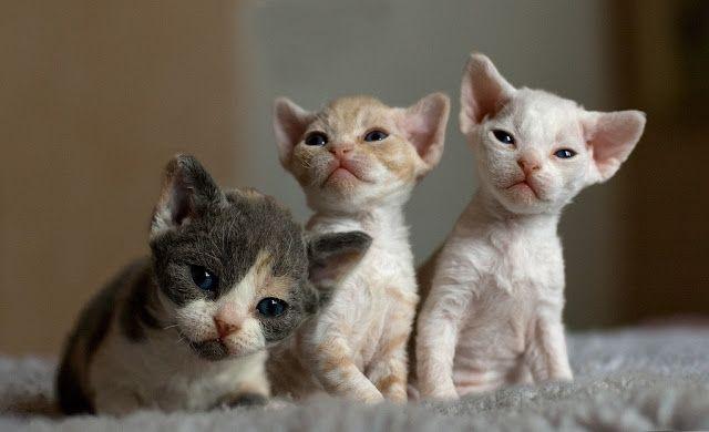 Three cute lovely  Devon Rex Kitten Picture