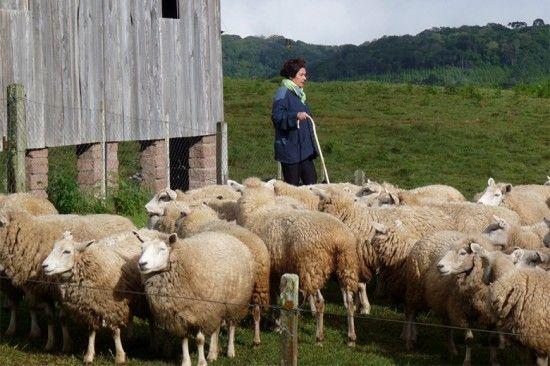 Inês Schertel com o rebanho de ovelhas criado por ela. Vem ver o resultado da tosquia!