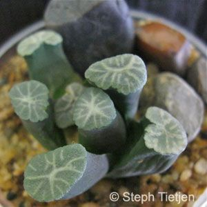 Haworthia maughanii | Steffy's Succulents