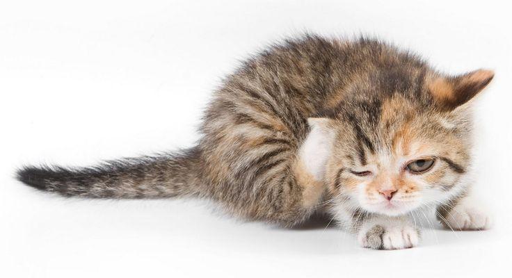 Отодектоз (ушной клещ) у животных