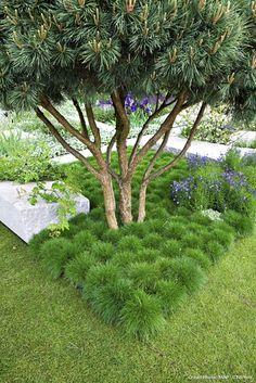 Ici Fetuque en couvre sol Les plantes à installer sous les arbres. Voici une sélection de plantes qui s'en sortent très bien malgré l'ombre, la terre sèche ou la concurrence des racines: Anémone des bois, Aspérule, Cyclamen coum ou de Naples, Hosta, Muguet, Scille y trouvent leur place. Pensez aussi aux feuillages persistants : Ajuga, Bergénia, Épimédium, Hellébore, Fétuques, Pachysandra, Pervenche.