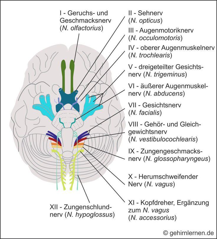 Niedlich Menschliches Gehirn Anatomie Und Funktionen Ideen ...