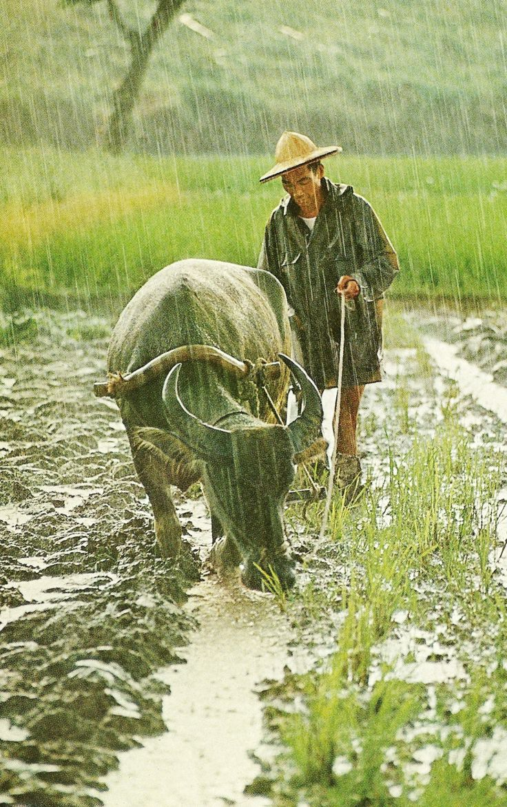 A water buffalo in Taiwan draws his masters plow through a field soaked by the monsoons deluge National Geographic | January 1969