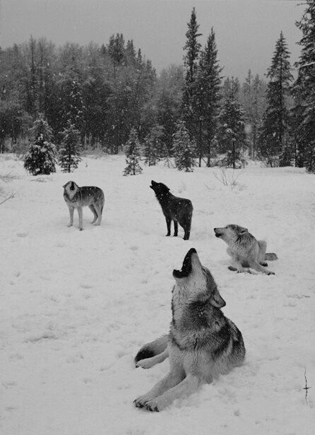 Beautiful wolves. I love wolves