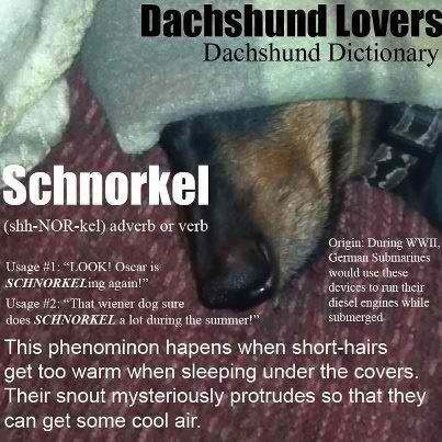 Doxie Schnorkle - Every daschund owner has surely witnessed this favorite weenie dog move! #wiener #dogs