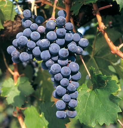 Vörös borszőlő fajták és ételpárjuk