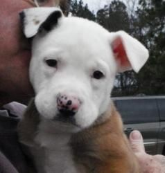 Bowser is an adoptable Pit Bull Terrier Dog in Pisgah AL. Bowser is one in a litter of 5 adorable Pit Bull mix pups who were brought to us when their mom died of an unknown cause when the pups were 5...