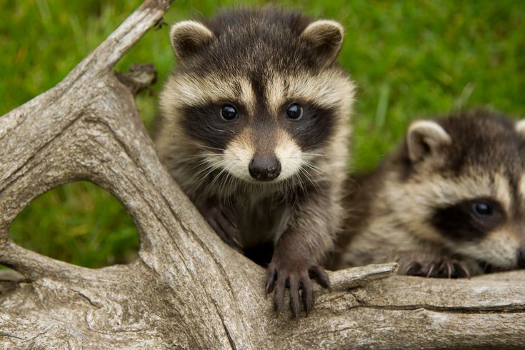Baby Raccoon - 40 Baby Animals Spotted in the Wild