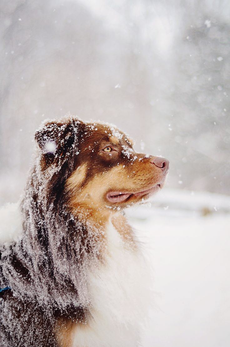 What a beauty Australian Shepherd Dog Photography Puppy Hounds Chiens Puppies
