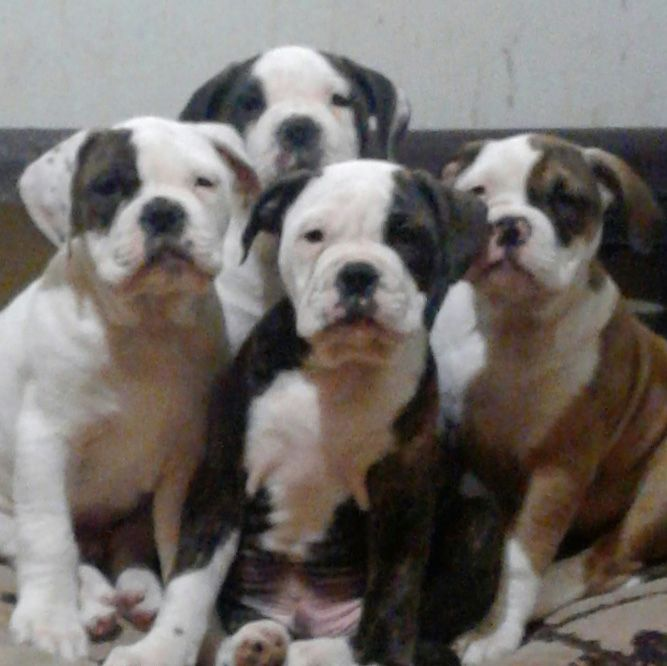Litter Of 5 Olde English Bulldogge Puppies For Sale In Rochester