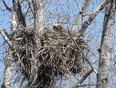 Female Bald Eagle Nesting by the McLeod River south of Whitecourt, AB