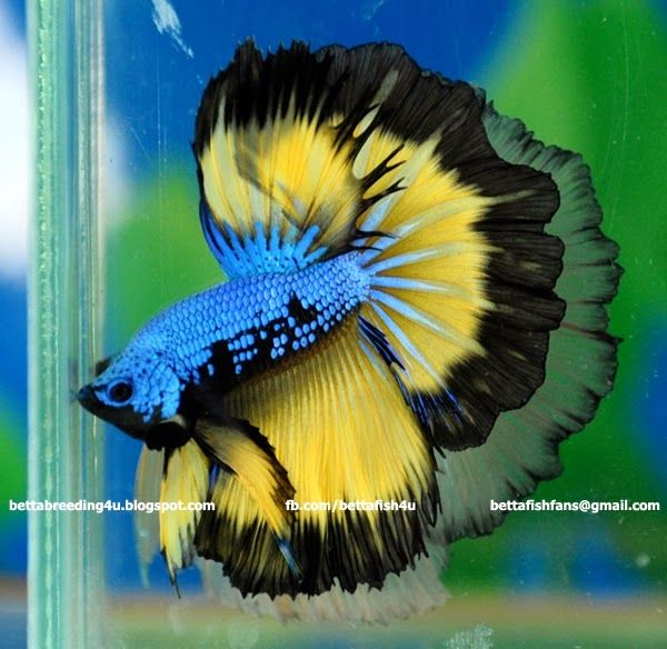 Mustard gas halfmoon betta fish