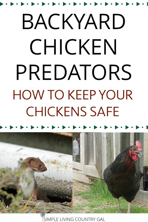 how to keep chickens safe from predators