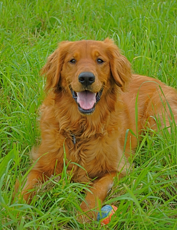 red golden retriever