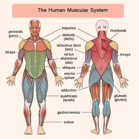 Muscular System Worksheet Muscular System Human Body Systems