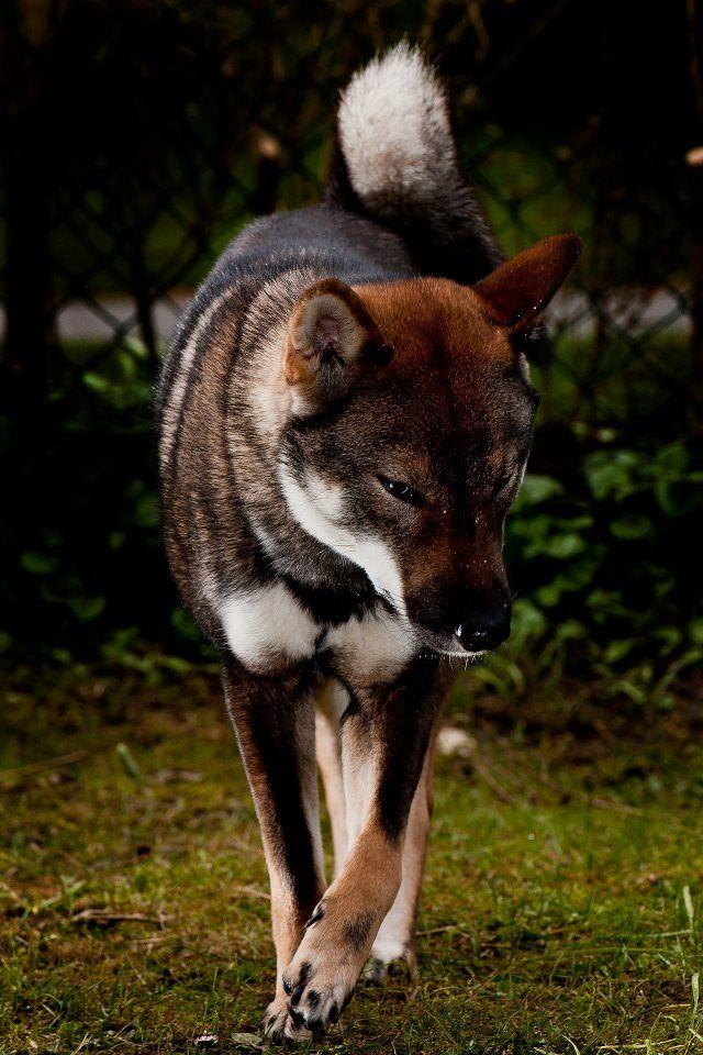 Shikoku is a native, primitive Japanese breed of dog from Shikoku island that is similar to a Shiba Inu.