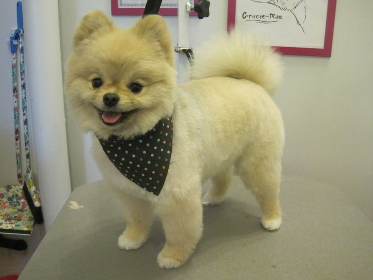 The 25+ best Pomeranian haircut ideas on Pinterest ...