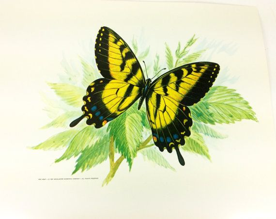 """Swallowtail Butterfly Print - 11 x 14"""" Science Class Flash Card - Mid Century Poster"""