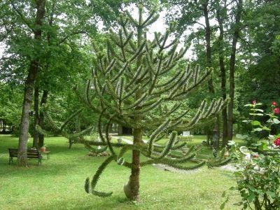 Le désespoir du singe - Désespoir du singe - Vous possédez un magnifique arbre dans votre jardin