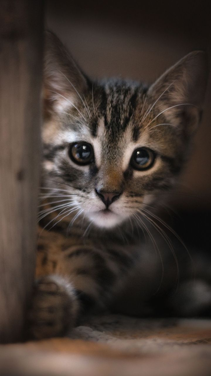 720x1280 Wallpaper Cute Beautiful Eyes Kitten Stare With