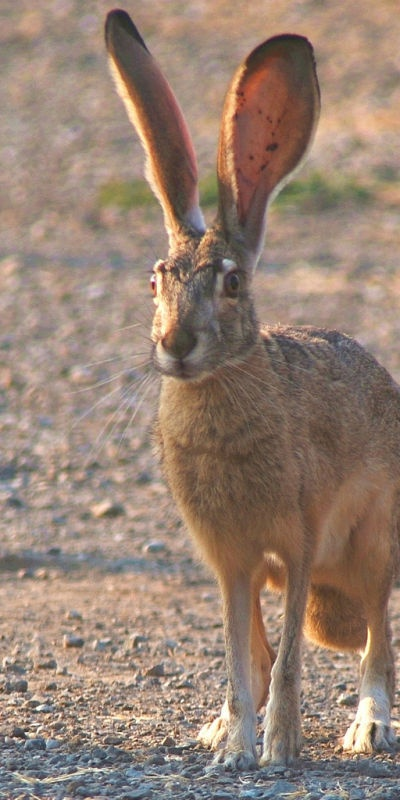 And hares