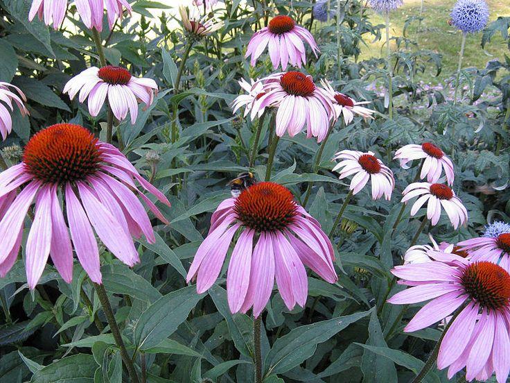 Třapatka je mohutná, trsnatá trvalka jejíž výška je 80 cm, je vhodná pro výsadby na záhony, řez květů i sušení vystouplých středových terčů soukvětí. http://www.semena-rostliny.cz/kvetiny-semena/9497-echinacea-purp-tl-apatka-fi.html