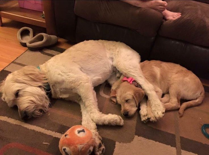 Adopted a 10 week old labradoodle. She was shy around us but immediately grew attached to our goldendoodle! http://ift.tt/2nhwnyj