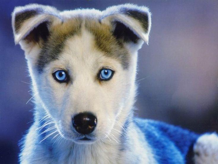 Cucciolo di Husky - Il Siberian Husky è un cane di taglia media di lontana origine siberiana. È una razza da lavoro anche se è diventato fra i più apprezzati cani da compagnia.