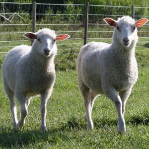 Suomenlammas...Finnish sheep