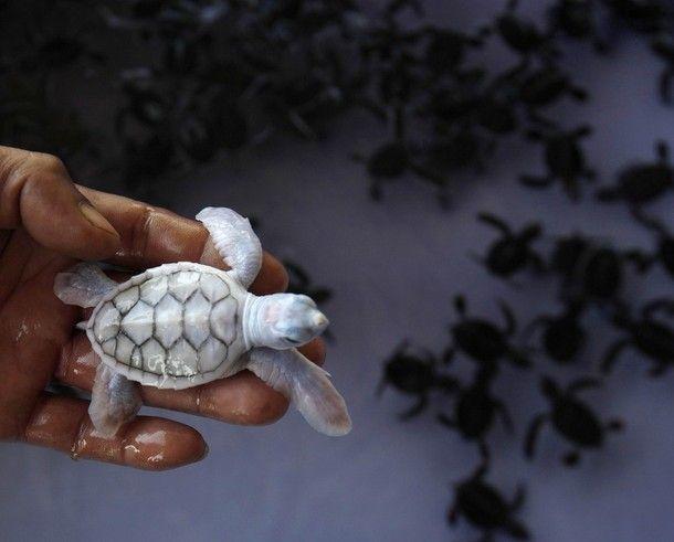precious: Babies, Albino Turtles, Exotic Pet, Seaturtl, Baby Turtles, Baby Sea Turtles, Albino Baby, Albino Sea, Animal