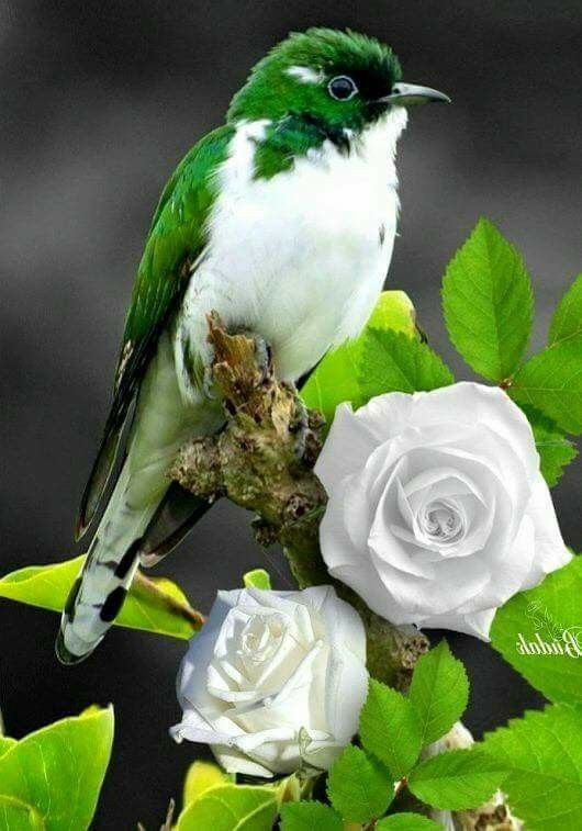 I can't decide if the bird or the roses are prettier