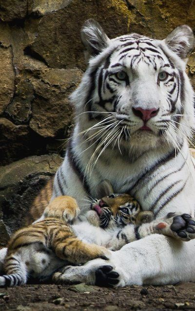 Safe in Mama's Paws.. Cali Zoo, Colombia tiger